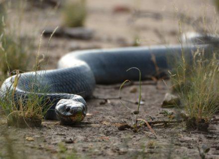Trinity Ranch Snake
